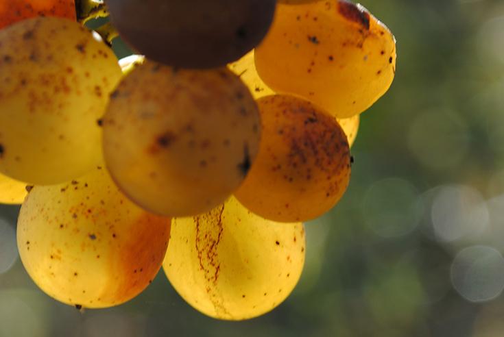Ajout de sulfites dans le vin, pourquoi ?