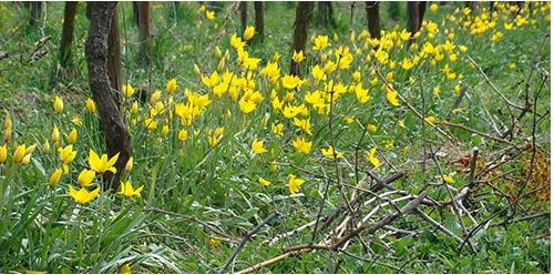 Des tulipes sauvages dans les vignes du domaine Pierre Frick