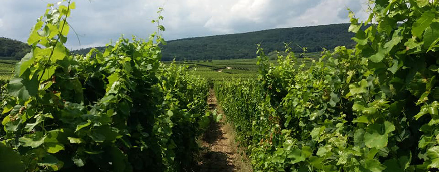 Vignes du domaine Pierre Frick en Alsace