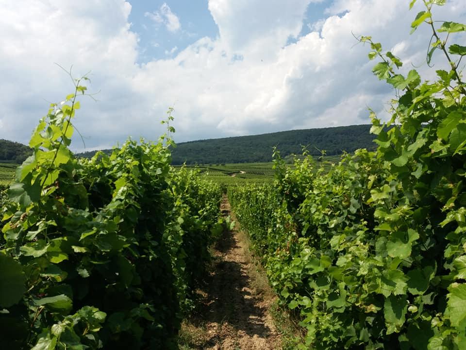 Les vignes du domaine Pierre Frick, vins d'Alsace