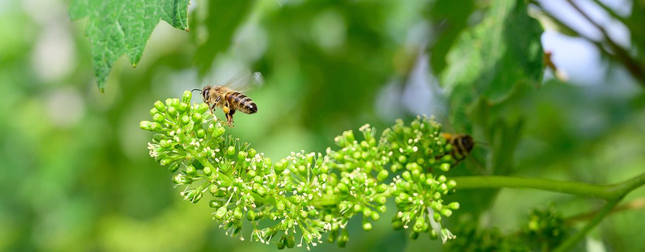 Vin nature, des abeilles butinent les fleurs d'une grappe de raisin