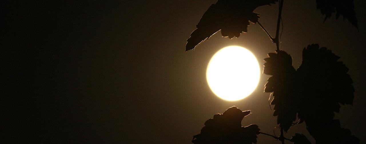 Vin biodynamique, feuilles de vigne avec la lune en fond