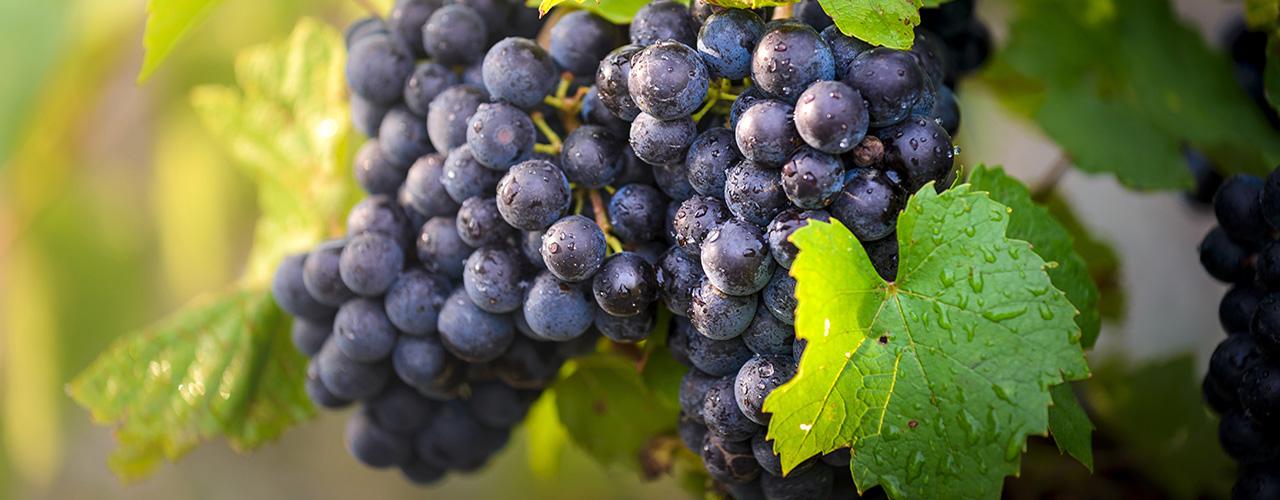 Vin biodynamique, raisin noir sous la rosée